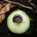 Tonkinbolus dollfusi NZ