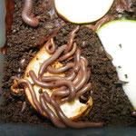 Tonkinbolus caudulanus NZ