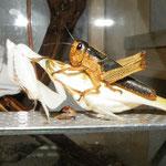 0.1 Hymenopus coronatus mit Heuschrecke