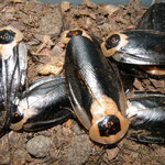 Blaberus craniifer Black Wing