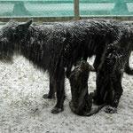 Der Schneeweiblein