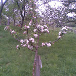 Blütenpracht im Obstgarten