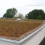 Dachbegrünung  Garten- und Landschaftsbau Gröne 8 Monate nach Sprosseneinsaat extensive Begrünung