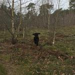 im Kaninchenwald ist Cajus ganz bei seinem Dummy