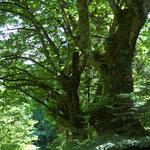 山深い林道の脇の栃の木と小人?