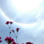 ムシトリナデシコの花と太陽に虹の輪