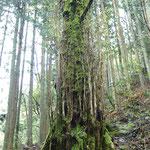 老木の根本から湧き上がる若枝と鮮やかな新芽