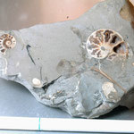 北海道 産 化石 アンモナイト