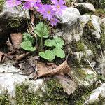 イワザクラの花