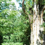 石徹白杉と小人