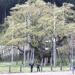 老木と若葉