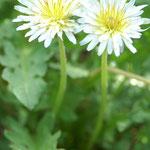 在来種シロバナタンポポの花