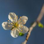 Mirabellen Blüte