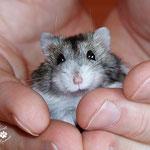 Maus, unser ehemaliger Hamster