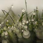 Gras im Morgentau