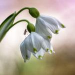 Frühlings-Knoten-Blume