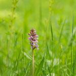 Knabenkraut, eine heimische Orchidee