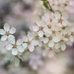 Obstblüten I