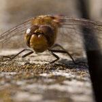 4-Fleck Libelle