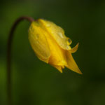 Wilde Tulpe