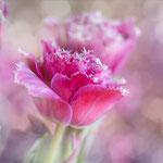 gefranste Tulpen