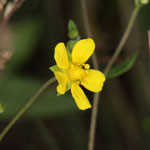 Blüte des Silber-Fingerkrautes (Potentilla argentea), das an der schneeweißen Blattunterseite zu erkennen ist