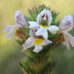 Die kleinen Blüten des Steifen Augentrostes (Euphrasia stricta) sind von bestechender Schönheit