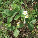 Eine seltene Verwandte unserer Wald-Erdbeere, die Knack-Erdbeere Fragaria viridis