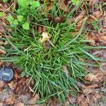 Typischer Horst der Wald-Segge (Carex sylvatica)