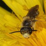 Goldbeinigen Sandbiene (Andrena chrysosceles), Männchen