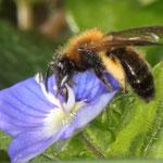 Rote Mauerbiene (Osmia cornuta) auf Ehrenpreis