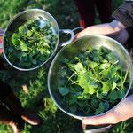Das Tellerkraut wird auch Postelein oder Kuba-Spinat genannt
