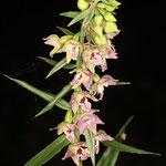 Breitblättrige Stendelwurz, Epipactis helleborine, eine heimische Orchideen-Art