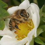 Honigbiene (Apis mellifera) auf der Blüte einer Erdbeere