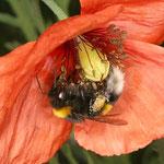 Dunkle Erdhummel (Bombus terrestris) im Klatschmohn beim Pollensammeln