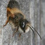Blattschneiderbiene (Megachile) beim Verlassen der Nisthöhle