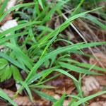 Das zarte Einblütige Perlgras (Melica uniflora) ist eines der schönsten heimischen Gräser