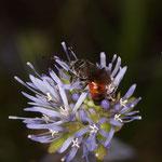 Eine seltene parasitische Blutbiene der Gattung Sphecodes auf dem Berg-Sandglöckchen