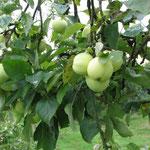 Weißer Klarapfel, Apfel des Jahres 2013 im Münsterland (Archivbild)
