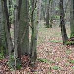 Vielstämmige Rot-Buchen (Fagus sylvatica) als Zeugen ehemaliger Niederwaldwirtschaft