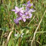 Der Deutsche Enzian (Gentianella germanica) blüht erst im September