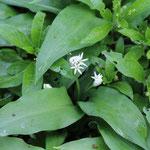 Wenn der Bärlauch (Allium ursinum) blüht, ist es für das Pesto zu spät...