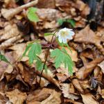 Das Busch-Windröschen (Anemone nemorosa) kennt wahrscheinlich jeder