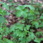 Die Rote Johannisbeere (Ribes rubrum) ist ein häufiger heimischer Strauch