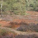 Heidefläche am Steiner See in Hlltrup - große Teile des Heidekrautes (Calluna vulgaris) sind verdörrt oder so stark geschädigt, dass sie in diesem Jahr nicht blühen.