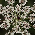 """Die schwarze """"Mohren-Blüte"""" in der Mitte der Dolde gab der Möhre (Daucus carota) ihren Namen"""