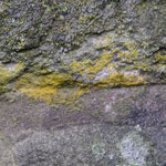 Die Pinkelflechte Caloplaca citrina