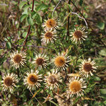 Die Golddistel, Carlina vulgaris
