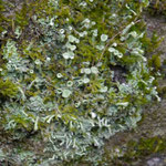 Becher von Cladonia fimbriata und stäbchenförmige Cladonia coniocraea