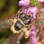 """Das Weibchen einer Heidekraut-Sandbiene (Andrena fuscipes) trinkt Nektar an der Blüte des Heidekrautes (Calluna vulgaris). Sie tankt Ihr """"Flugbenzin"""". Nektar besteht aus Wasser und Zuckern."""